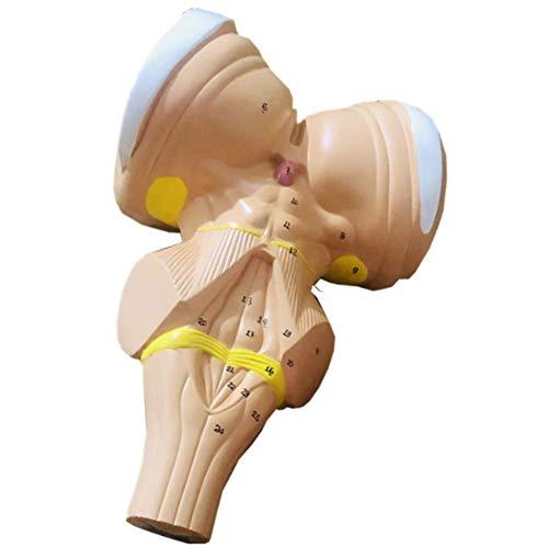 WGFGXQ Modelo de Aumento del Tronco encefálico, Aumento de 3 Veces, Materiales de protección Ambiental, nervio craneal del Tallo Cerebral, ayudas didácticas de demostración