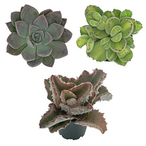 Pasiora Sukkulenten Mix im 6cm Topf, verschiedene kleine Pflanzen, Geschenkset (3 Stück)