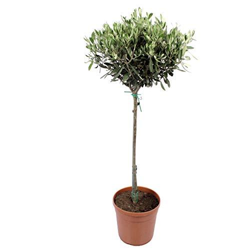 Indoor-Helden Olea europeae - Olivenbaum, Topf-Ø: 21 cm, Höhe: 100 cm Echter Ölbaum Zimmerbaum