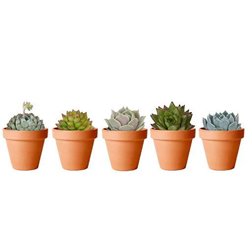 Pack de 5 Plantas Suculentas Naturales con Maceta de Cerámica Ideales para Regalar y Decorar el...