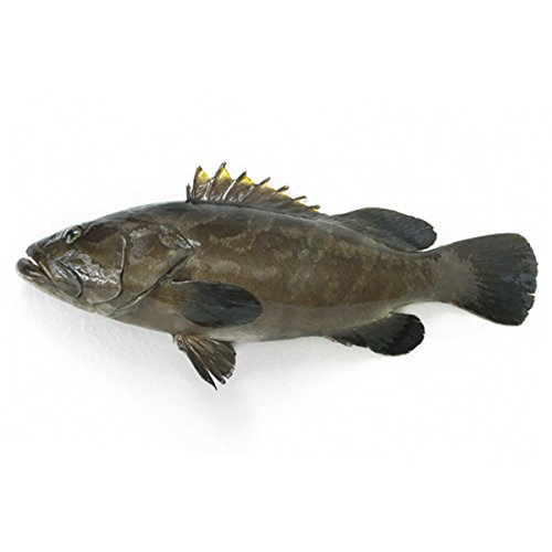 築地魚群 活〆天然 クエ1尾(2-2.5Kg前後サイズ)