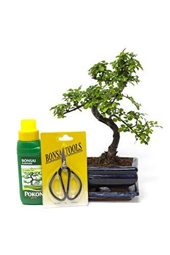 Chinese Elm Bonsai Tree Kit - 7 Year Old Bonsai Tree with Plant Feed & Scissors