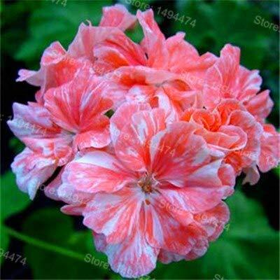 Generic Fresh 200pcs Geranien blühen SAMEN zum Pflanzen von Orange Weiß