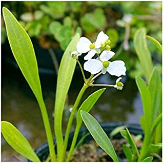 (ビオトープ)水辺植物 ナガバオモダカ(グラミネア)(1ポット) 抽水植物 (休眠株)