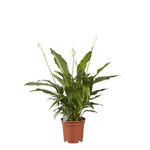 Hellogreen Zimmerpflanze -...