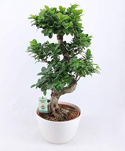 Ficus Microcarpa Ginseng XL | Bonsai Baum | Tropische Zimmerpflanze | Höhe 80-85cm | Inkl. Übertopf weiß Ø 27cm