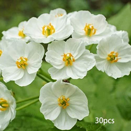 Mymotto 10/30/50/100 Pcs Japanische Lotus Flower Seeds-weiße Blütenblatt-Blume mit Regen dreht lichtdurchlässigen Bonsai-Kristall Blumensamen
