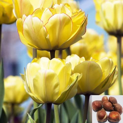 CHTING 10 bombillas populares de tulipán, pétalos amarillos, con bordes rojos, aroma fuerte que atrae a las abejas, mariposas y añade vitalidad a tu jardín