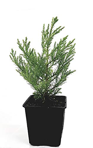 Seedeo® 3 x Pflanzen Berg - Mammutbaum (Sequoiadendron giganteum) 2 Jahre