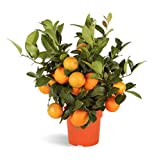 Árbol de limas RANGPUR LIME - limonero enano de interior - frutas comestibles. Maceta de 14cm