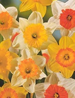 Mixed Narcissus Daffodil 50 Bulbs - SUPER VALUE - Deer Proof!