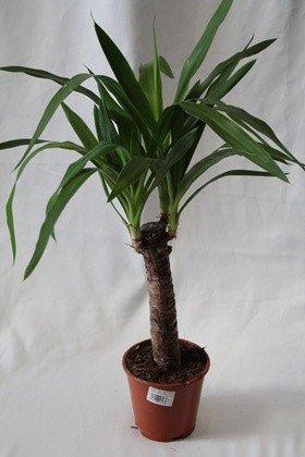 Yuca (1 tronco) - Planta viva de interior