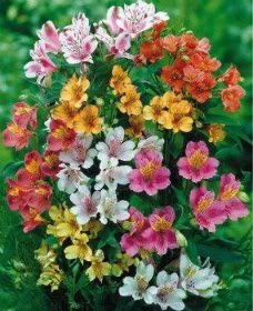 20 PERUVIAN LILY MIX Alstroemeria Dr Salters Flower Seeds *Comb S/H by Seedville