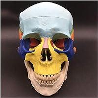 解剖学モデルカラースカルモデル-医療解剖学的人間の頭蓋骨モデル-1:1等身大スカルヘッドモデル-医療教育研究のための取り外し可能なあごと頭蓋骨