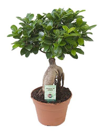 Ficus Ginseng, Ginseng Bonsai, (Ficus microcarpa), asiatischer Bonsai, verschiedene Größen (im 17cm Topf, ca. 40cm hoch)