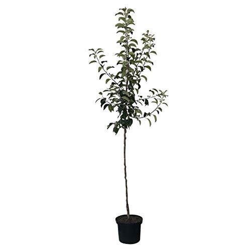 Müllers Grüner Garten Shop Apfelbaum Roter Boskoop Winterapfel Koch- und Backapfel Halbstamm 170-200 cm 10 L Topf Unterlage M7