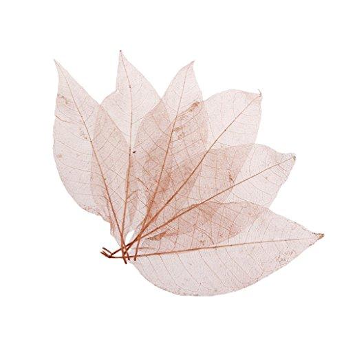 50pcs Magnolia Naturales Esqueleto De...