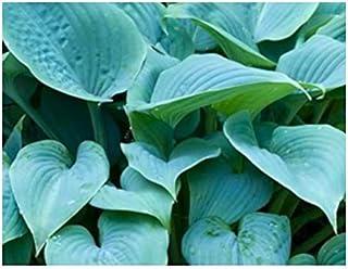 Amazoncom Fragrant Blue Hosta