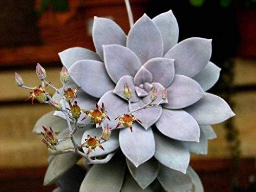 Ghost Plant Graptopetalum Pentandrum Superbum Flowering Succulent Rooted 2' Pot
