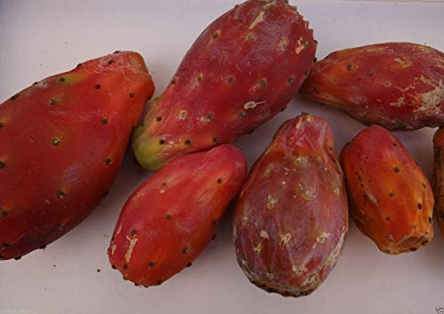 Vistaric 50 rote Opuntia Ficus Indica Samen, Nopal, Thunfisch Roja, Kaktus-Kaktusfeigen-Frucht