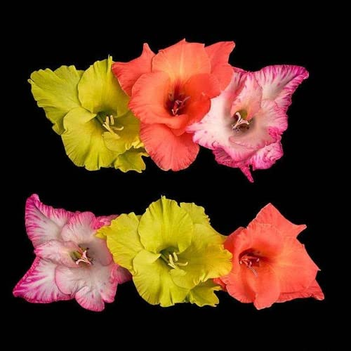 3 Piezas Mezcla De Bulbos De Gladiolo Fácil De Plantar Hermosa Decoración De Jardín Atrae Abejas Y Mariposas Crea Un Paisaje Artístico único