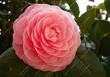 Vistaric 100% vraies graines de camélia communes, (Camellia Japonica), graines de fleurs de bonsaï en pot de plantes en plein air bricolage pour le jardin de la maison 5 pcs/sac 17