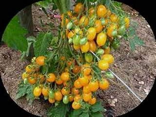 ildi cherry tomato