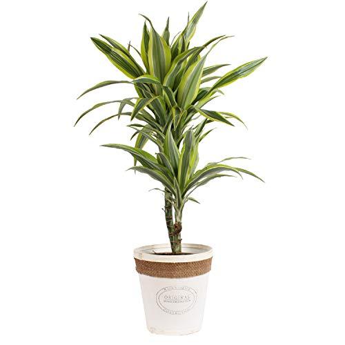 Zimmerpflanze von Botanicly – Drachenbaum in weißem Echtholz-Übertopf als Set – Höhe: 65 cm – Dracaena derem. Lemon Lime