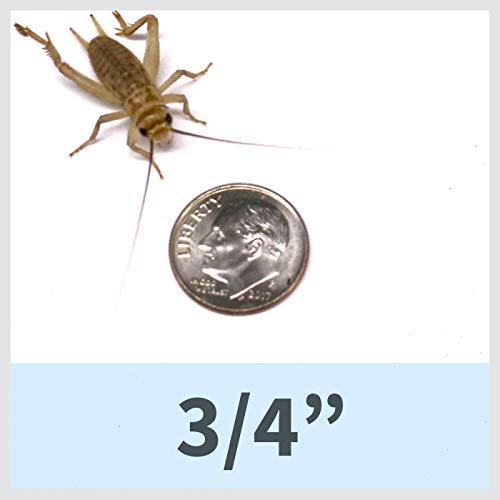 Ovipost 1000 Live House Crickets - Acheta domesticus (3/4')