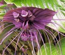 Tacca chantrieri Noir Chauve-souris Graines de fleurs Papillons Rare Unique Attire (20)
