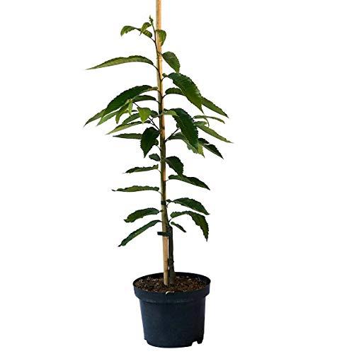 Grüner Garten Shop Belle Epine Esskastanienbaum veredelte Esskastanie geschmackvolle Marone ca. 60-100 cm 7,5 L Topf