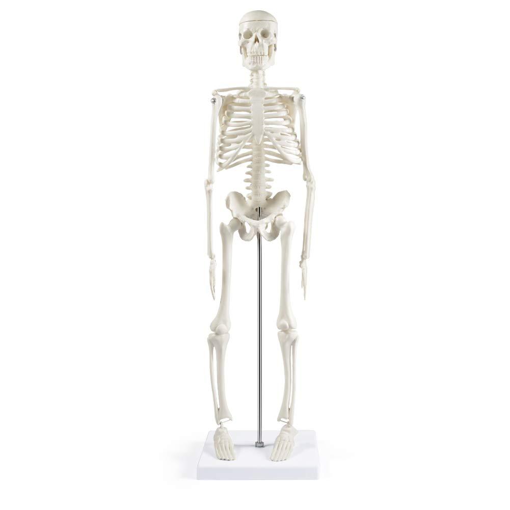 "Human Excellence Skeleton Model for Mod Anatomy Spasm price 17""Mini"