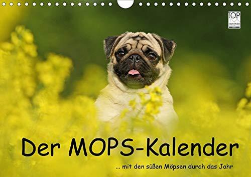 Der MOPS-Kalender (Wandkalender 2020 DIN A4 quer): ... mit den süßen Möpsen durch das Jahr (Monatskalender, 14 Seiten ) (CALVENDO Tiere)