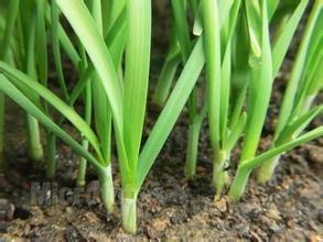 100seeds / sac Graines de racine chinoise pourpre, graine balcon cour, plante en pot, légumes, large feuille Livraison gratuite