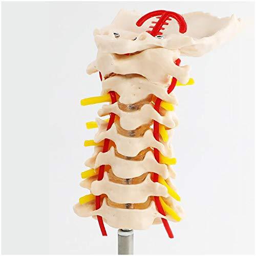 FXQ Humana de la vértebra Cervical de la arteria carótida Modelo - 1: 1 tamaño Natural Cervical Spine carótida Humana Columna Flexible, vértebras lumbares Médico Modelo de enseñanza - para Méd
