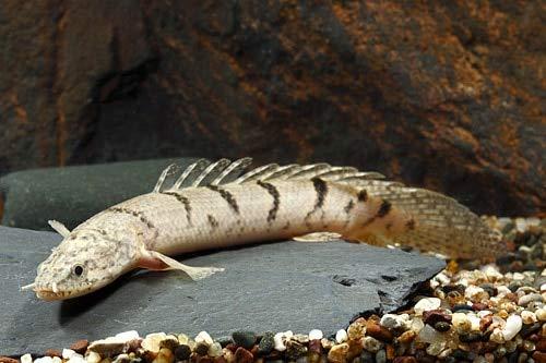 【熱帯魚・古代魚・大型魚】 ポリプテルス・デルヘッジ ■サイズ:8cm± 東南ブリード (1匹)