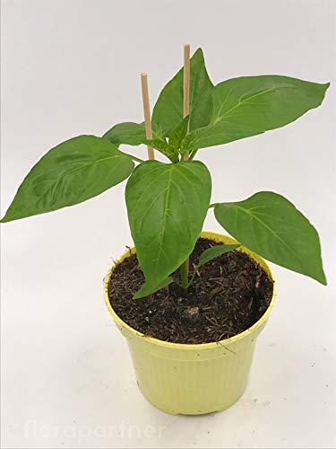 ROTE Paprika Pflanze CAPSICUM ANNUUM 'MIDIRED' Gemüse Pflanze 1stk.