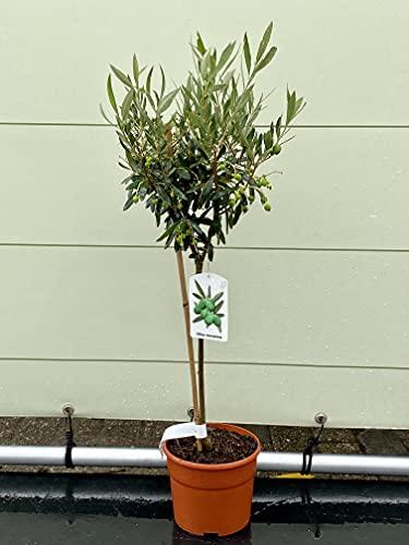 Olivenbaum - Olea europea - 80 cm - deco topf - Winterhart