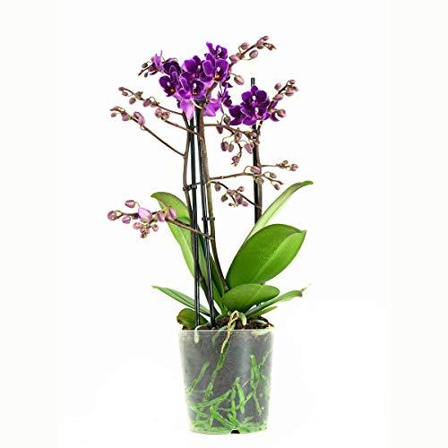 Orchidee von Botanicly – Schmetterlingsorchidee lila – Höhe: 40 cm, 3 Triebe, lila Blüten – Phalaenopsis multiflora Little Purple