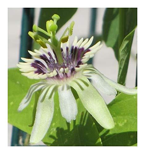 Passiflora colinvauxii - Grenadille - Granadilla - Fruit de la Passion - 5 graines