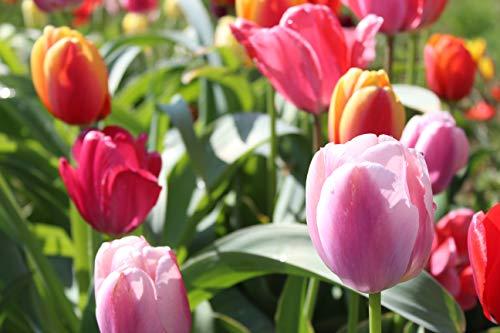 100 Blumenzwiebel-Mischung Tulpenzwiebeln Mischung Bubble