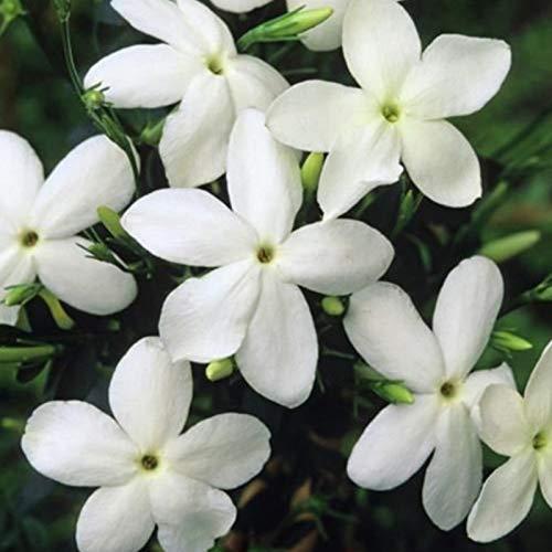 200 Pz/Borsa Semi Di Gelsomino Fiorente Siccità Intollerante Fiore Bianco Semi Di Piante Da Fiore Per Balcone Piante Da Giardino Semi Semi di gelsomino