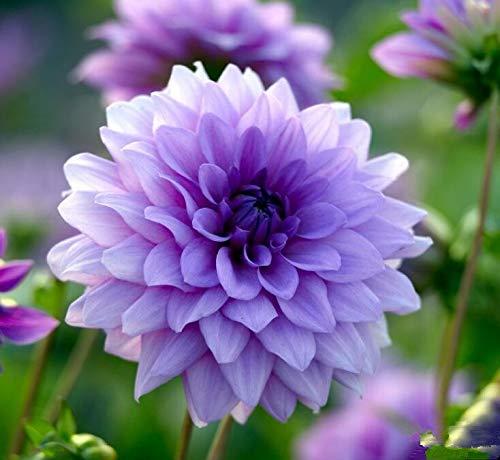 Generic Fresh 200 Pcs Dahlia Blumensamen zum Pflanzen von Veilchen
