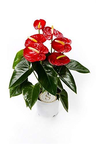 Flamingoblume, (Anthurium), pflegeleichte Zimmerpflanze, im 12cm Topf, (Rot, Sorte: Red Champion)