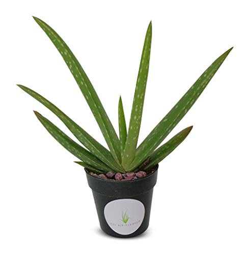 "Live Aloe Vera Succulent Aloe Barbadensis 5""-6""+ Aloe in 2.5"" Pot"