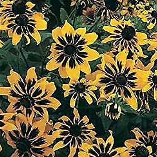 Best rudbeckia hirta kelvedon star Reviews
