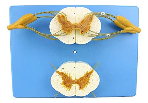 Médula espinal Humana Modelo de Rama del nervio espinal Sistema nervioso periférico Anatomía de la Columna Anestesiología del nervio espinal para la enseñanza de la formación médica