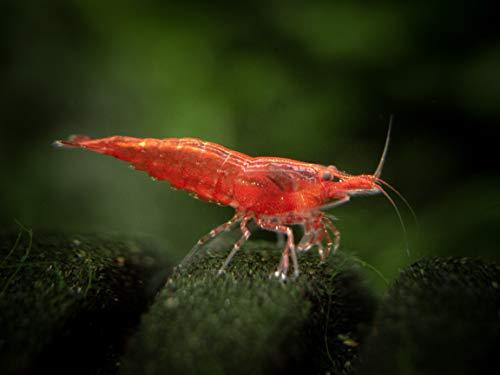 12 Live Sakura Red Cherry Shrimp (Neocaridina davidi) - Breeding Age Young Adults at 1/2 to 1 Inch Long by Aquatic Arts