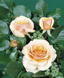 'Sweet Lady' -R-, Duft-Edelrose im 4 L Container