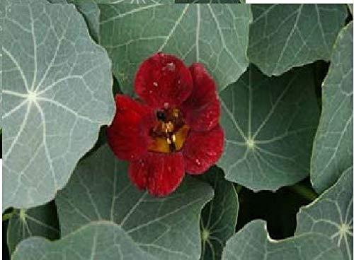 Portal Cool Flower - Kapuzinerkresse - Tom Thumb Black Velvet - 40 Samen